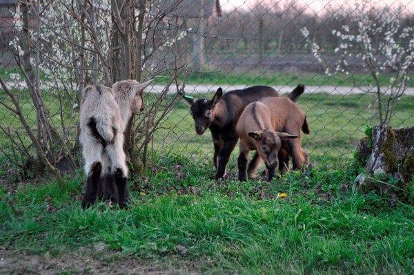 srecna koza 5