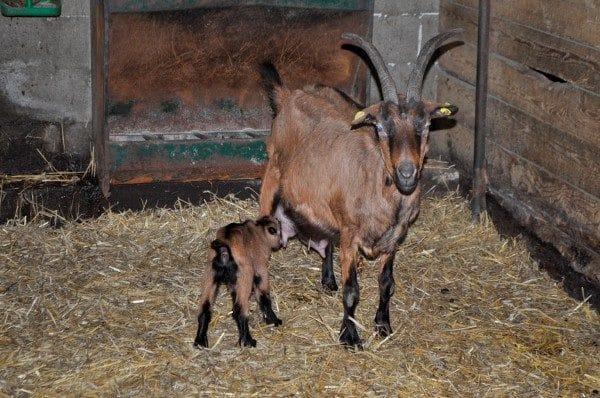 srecna koza 6